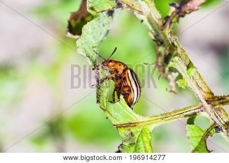 Colorado Potato Beetle On Potato Bush Close Up