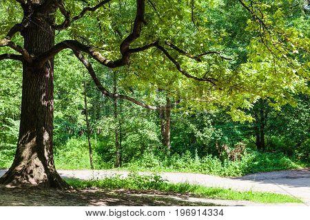 Oak Tree Over Pathway In Urban Park In Summer