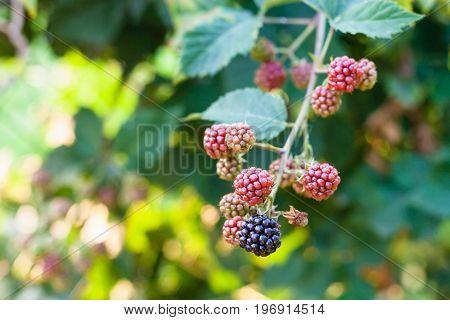 Blackberries On Twig In Summer Season