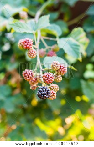 Blackberry Fruits On Twig In Summer Season