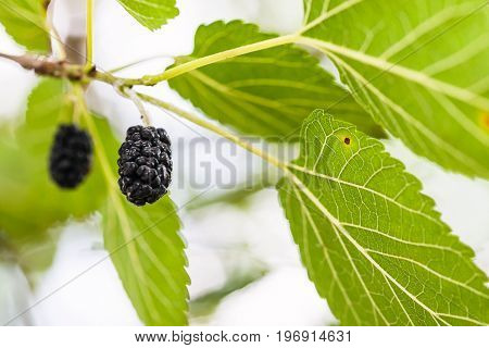 Ripe Black Berries On Mulberry Tree Close Up
