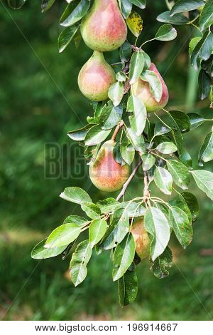 Ripe Pear Fruits On Tree On Backyard In Summer