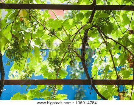 Vineyard On Backyartd Of Country House