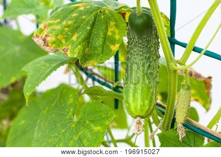 Green Cucumber On Bush In Hothouse Close Up