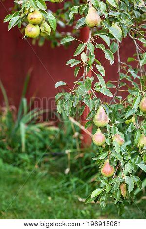 twig of pear tree with fruits on backyard in summer season in Krasnodar region of Russia