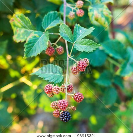 View Of Blackberries On Twig At Summer Sunset