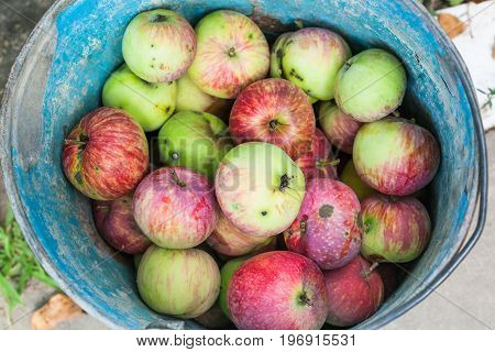 Top View Of Bucket With Fresh Windfall Apples