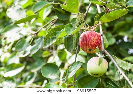 Branch With Ripering Apples In Garden In Summer