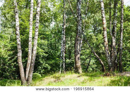 Birch Trees In Forest In Summer