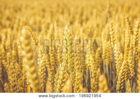 Golden wheat field. Wheat stalks and grain close up, selective focus in soft shades of yellow and orange. Summer harvest concept for natural food growing crops health nutrition lifestyle.