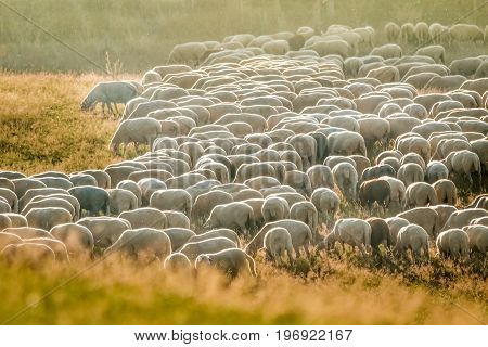 Flock Of Sheep in the Taunus mountains near Engenhahn Hesse Germany