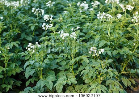 Flowering Potato Field. Agricultural Field Of Potato Plant.