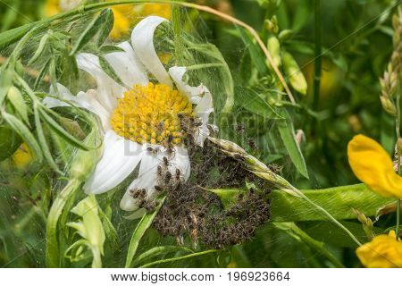 Spiderling creche or nursery on white Daisy