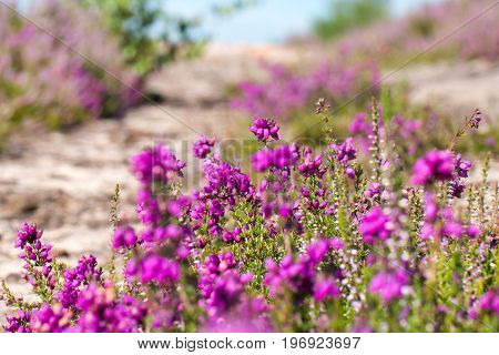 Heather (calluna Vulgaris) In Flower In Summer