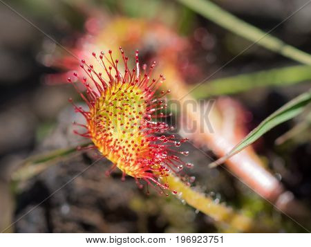 Close-up Common Or Round-leaved Sundew (drosera Rotundifolia) Showing Carnivorous Tentacles