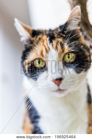 Closeup of calico cat head looking down