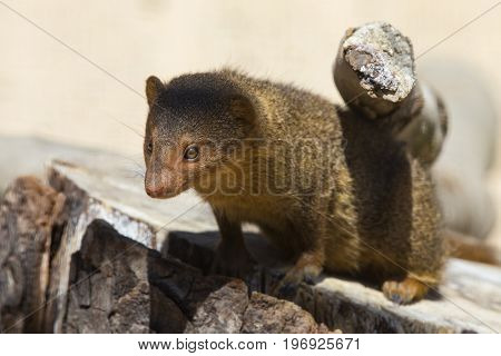 A Dwarf Mongoose - a small African carnivore.