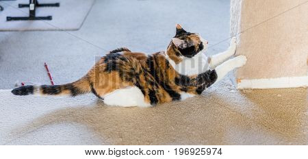 Calico Cat Scratching Nails On Scratch Post Side Profile