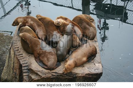 A group of California sea lions resting on a large stone perch beside the Coast  Guard Pier in Montereey,  Calfiornia