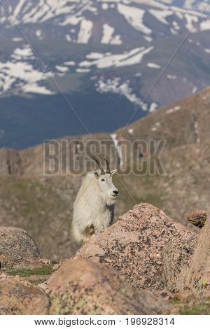 a regal mountain goat in the Colorado high country
