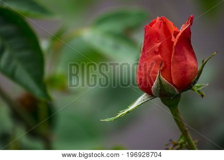 Close up picture of red rose,horizontal color picture.