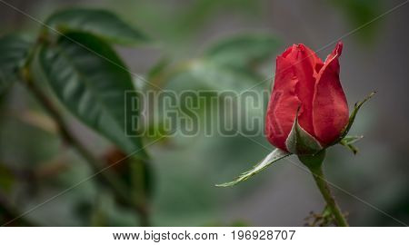 Panoramic picture of red rose,symbol of love in the garden.