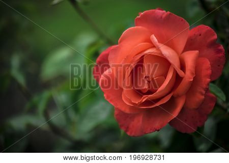 Picture of nature,close up red rose,while a summer day.