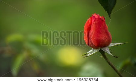 Symbol of love,red rose in the garden.