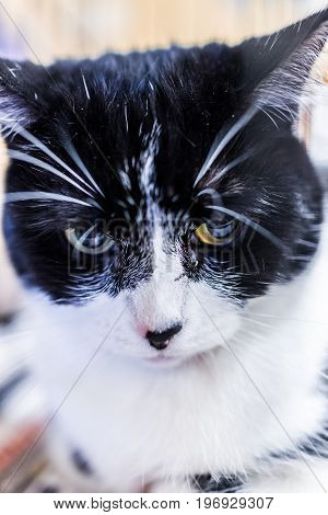 Macro Closeup Portrait Of Black And White Cat's Face With Whiskers