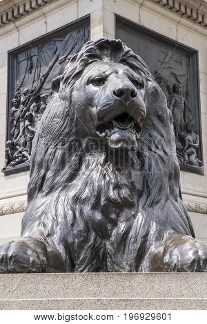 One of the iconic Lion sculptures at the base of Nelsons Column in Trafalgar Square in London UK.