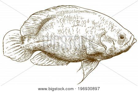 Vector antique engraving illustration of oscar fish isolated on white background