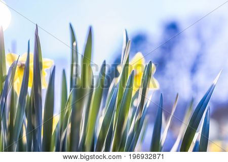 Many Yellow Daffodils Viewed From Behind With Green Leaves During Sunset