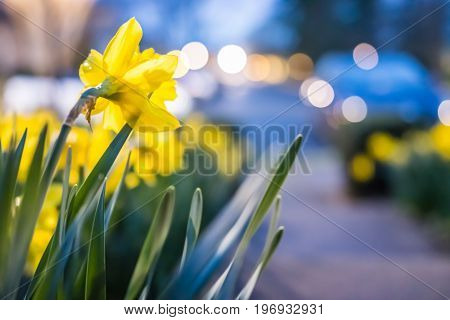 Many Yellow Daffodils Viewed From Behind With Green Leaves During Blue Hour