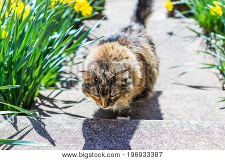 Maine Coon Cat Running Up Stairs On Porch Outside By Flowers