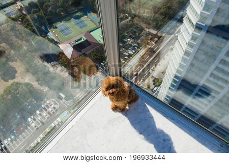 Red toy poodle puppy sitting on floor against window. Look at the camera. View from high rise window.