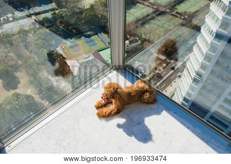Red toy poodle puppy lies on floor against window. Looking sideways. View from high rise window.