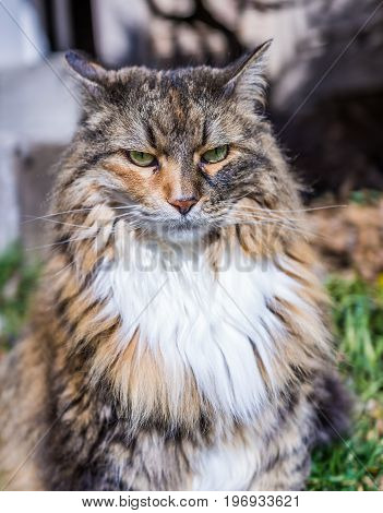 Angry Maine Coon Cat Outside With Neck Ruff And Ears Back