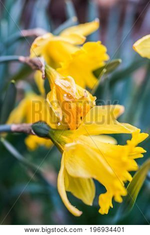 Side Macro Closeup Of Wilted Daffodils Turning Brown