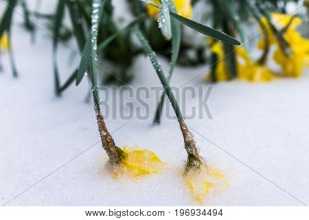 Two Yellow Daffodil Flowers Buried In Frozen Icy Snow
