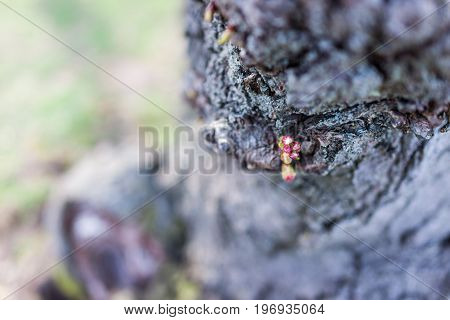 Cherry Blossom Buds In Tree Trunk Macro Closeup With Unopened Pink Flowers