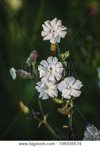 Beautiful dewy flowers of the Bladder Campion, a vertical picture