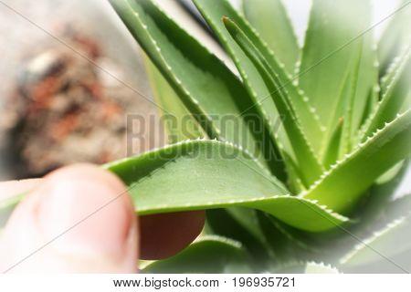 Aloe Vera Plant With Hand On Stem High Quality
