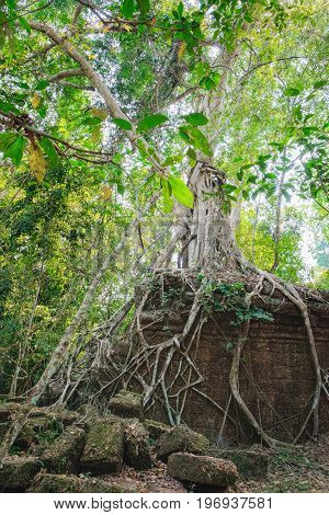 A large tree trunk of great banyan tree growing on the wall of the Preah Khan Temple in Angkor Complex, Siem Reap, Cambodia. Ancient Khmer architecture, famous Cambodian landmark, World Heritage