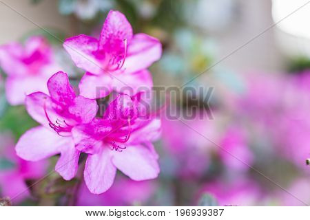 Macro Closeup Of Pink Rhododendron Flowers Showing Closeup Texture