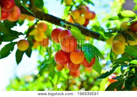 Branches with not ripe yellow red cherry plum fruit growing in the garden