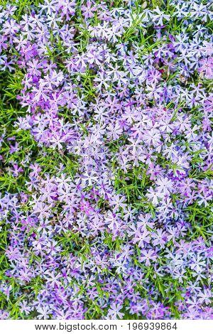 Pattern Flat Top Closeup Of Blue Creeping Phlox Flowers