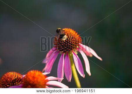 flower of Echinacea purpurea or Hedgehog coneflower.
