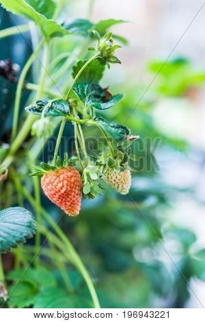 Hanging Ripening Orange Green Red Strawberry On Plant In Garden Macro Closeup