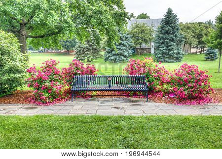 Frederick USA - May 24 2017: Colorful bench with bright pink and red roses bushes with many flowers in Bakery Park by Carroll Creek in Maryland city during summer