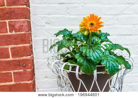 Orange Gerbera Daisies In Flower Pot Outside Against Red And White Brick Buildings